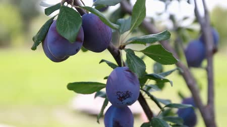 śliwka : plum fruit hanging on the tree