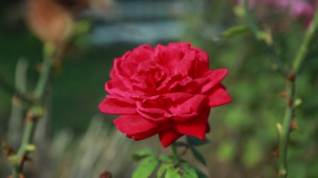 Роуз : beautiful red rose on a green bush Ukraine Стоковые видеозаписи