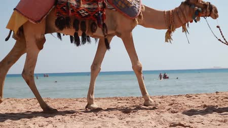 wielbłąd : Egypt, Hurghada, a large camel on the beach