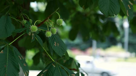 neobdělávaný : beautiful white chestnuts develop in the wind Dostupné videozáznamy