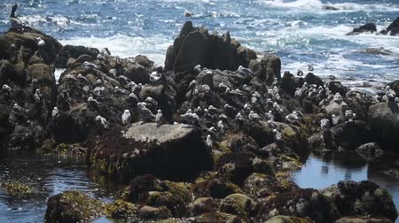 shorebird : beautiful view of the rocky shore of the ocean, lots of gulls.