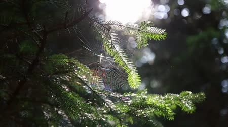 pók : In the forest on the tree spider web with a spider on the background of the sun