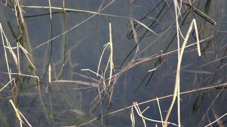Reed in water and under water surface. Shoreline of pond, detail of lake fauna and flora Stok Video