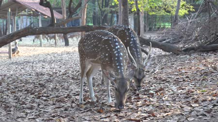 geyik : Red deer eating grass in a zoo, Wild roe deer in nature. Stok Video