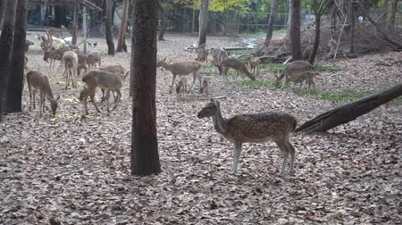子鹿 : Red deer eating grass in a zoo,Wild roe deer in nature. 動画素材