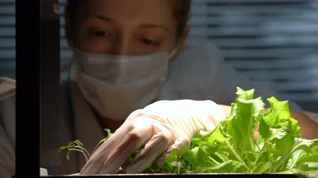 ученый : A female scientist transplants little sprout in the laboratory. Close up. Стоковые видеозаписи