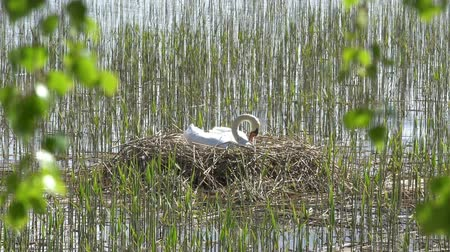 assombro : Swan breeds in his nest in Finland. Stock Footage
