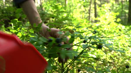 amoras : Woman picking wild berries using a special harvester in national park forest in Finland