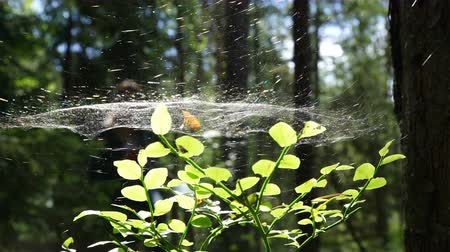háló : Spider web in the tree. Web in the middle of his web on the green blurred background forest