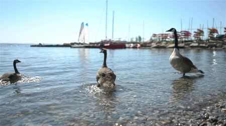 bird ecology : Wild migratory geese require food from tourists on the beach in Norway Stock Footage