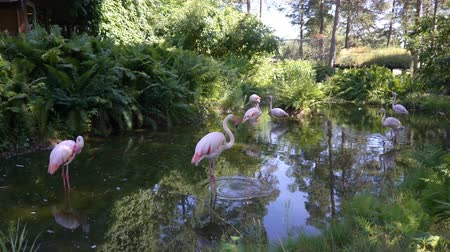 flamingi : Pink flamingos at the zoo pond