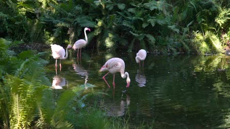 flamingi : Pink flamingos at the zoo pond. Slow motion