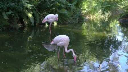 animal sauvage : Flamants roses à l'étang du zoo. Ralenti