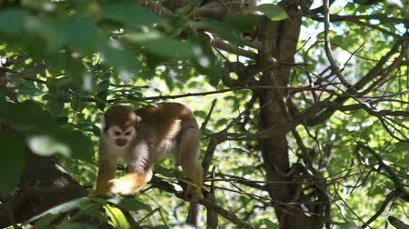 squirrel fur : common squirrel monkey in the branches of a tree in the zoo