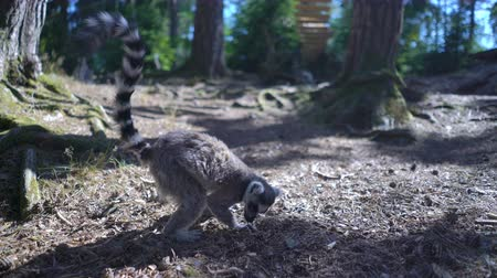 madagaskar : Ring-tailed lemurs at the park zoo.