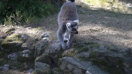 madagaskar : Ring-tailed lemurs at the park zoo. Slow motion