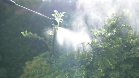 spraying : Insecticide Garden Plants Using Handheld Sprayer. Closeup Photo. Gardening Theme.