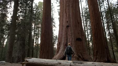 silvicultura : Walking and Exploring Hiker on the Giant Ancient Forest Trailhead in Sequoia National Park in California, United States of America. Stock Footage