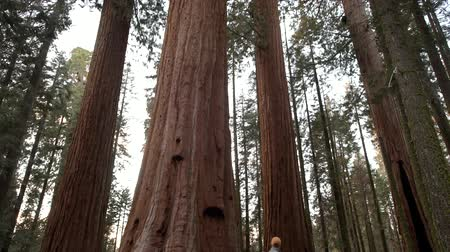 sierra nevada : Giant Redwood Sequoia Forest. United States of America. Hiker on the Park Trail.