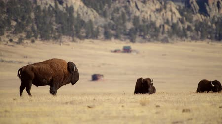 gramíneo : Colorado Bison Herd on the Grassland near Fairplay, Colorado, United States of America