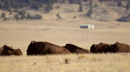 gramíneo : American Buffalo Herd in the Colorado, United States of America. Elven Miles Lakes Region.
