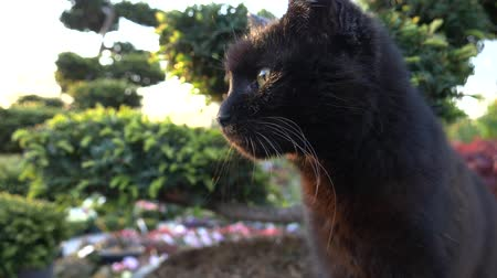 kotki : Black Cat Enjoying Warm Day Closeup Slow Motion Wideo