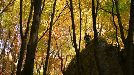 silvicultura : Hiker on the Rock Formation Enjoying Falling Leaves During Autumn Foliage. Slow Motion Footage.
