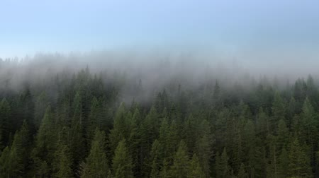 temperada : Aerial Footage of the Conifers Forest and the Clouds Passing By. Alpine Weather.