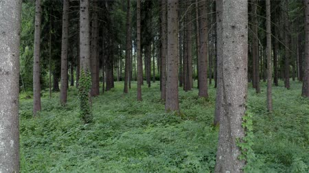 silvicultura : Alpine Region Forestry. Summer Time Coniferous Forest Scenery. Spruce Forest.
