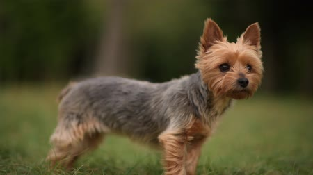 állatorvos : Barking Australian Silky Terrier Outdoor Summer Portrait. Domestic Animal Theme. Left Side Copy Space.