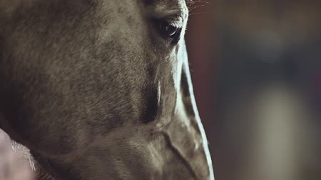 dizgin : Horse Eyes Closeup Slow Motion Video. Equestrian Facility. Stok Video