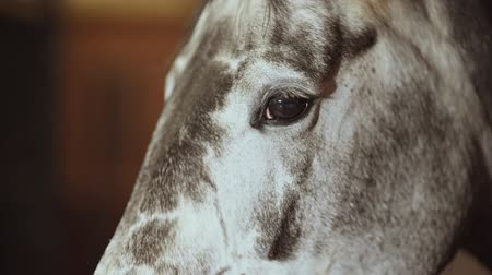 padok : Equestrian Facility. Brown Riding Horse in a Stable. Head Closeup. Slow Motion Footage. Stok Video