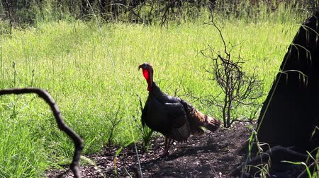 oak : Shiloh Ranch Regional Park, California - The wild turkey (Meleagris gallopavo) is an upland ground bird native to North America and is the heaviest member of the diverse Galliformes.