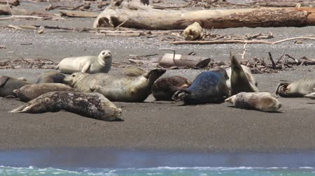 food state : Goat Rock Beach, Sonoma County, California. Each spring a large sand spit builds up in Jenner, right at the mouth of the Russian River. Seals love hanging out at the Pacific Coast beaches.