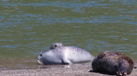 seleção : California Jenners rookery attracts mostly Pacific harbor seals. Each spring a large sand spit builds up in Jenner, right at the mouth of the Russian River. Stock Footage