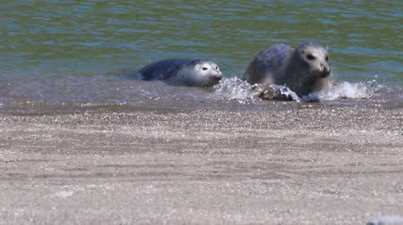 kecske : California Jenners rookery attracts mostly Pacific harbor seals. Each spring a large sand spit builds up in Jenner, right at the mouth of the Russian River. Stock mozgókép
