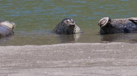 food state : California Jenners rookery attracts mostly Pacific harbor seals. Each spring a large sand spit builds up in Jenner, right at the mouth of the Russian River. Stock Footage