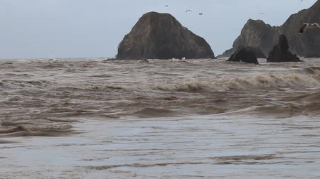 чайка : Swirling waves on River end. The Russian river coloring brown the Pacific ocean after rain. Seagulls and Seals. Goat Rock Beach, Sonoma County, California winter.