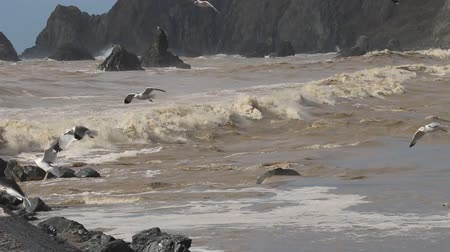 state natural reserve : Swirling waves on River end. The Russian river coloring brown the Pacific ocean after rain. Seagulls and Seals. Goat Rock Beach, Sonoma County, California winter.