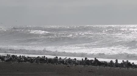 koza : Swirling waves on River end. The Russian river coloring brown the Pacific ocean after rain. Seagulls and Seals. Goat Rock Beach, Sonoma County, California winter.