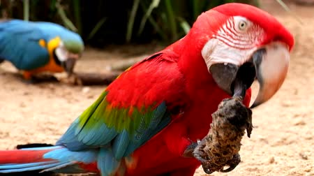 ara : two red and blue parrots eating in the wilderness Stock Footage