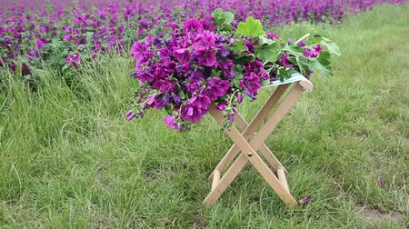 mallow : beautiful purple mallow on small stool in front of flower field Stock Footage