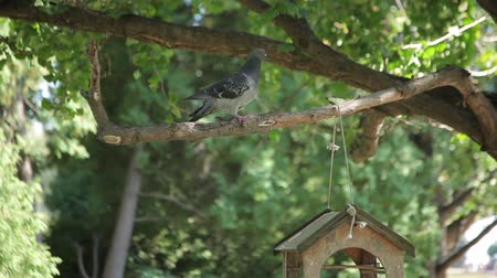 bird eye : Pigeon and Bird Feeder Stock Footage