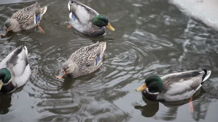 Wild ducks in the winter river.