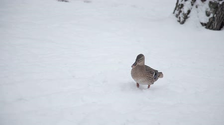 Wild duck walking on snow Vídeos