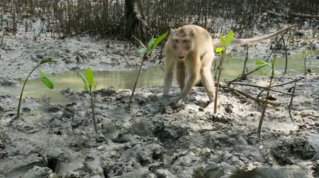 crab eating macaque : monkey live in Mangrove forest in thailand