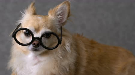 scholar : clever chihuahua brown dog wear round black glasses with grey leather background 4k format
