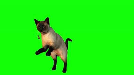 kotki : Siamese cat jumps and twirls while chasing a dragonfly.