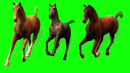 cavalos : Galloping Horses (Green Screen) - Three horse (Palomino, Paint and Appaloosa) gallop in three-quarter view. Looping Vídeos