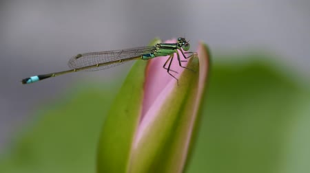 coleopteres : The Dragonfly Perched on The Pink Lotus Flower